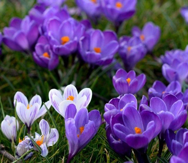 C:\Users\AdminX\Desktop\НАТАЛИ\ПАМЯТНИКИ\сайт\материалы для заполнения\статьи\Какие цветы посадить на кладбище\Крокусы.jpg