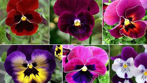 C:\Users\AdminX\Desktop\НАТАЛИ\ПАМЯТНИКИ\сайт\материалы для заполнения\статьи\Какие цветы посадить на кладбище\Анютины глазки.jpg