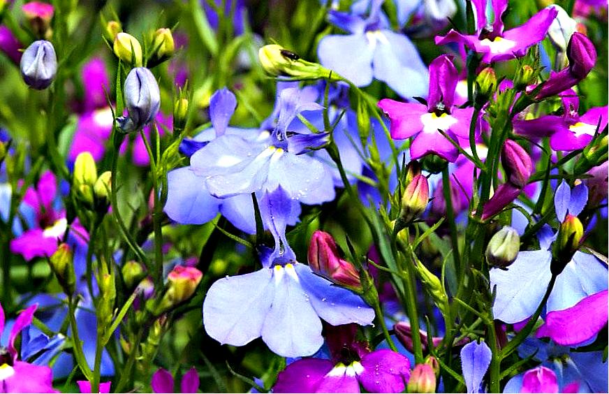 C:\Users\AdminX\Desktop\НАТАЛИ\ПАМЯТНИКИ\сайт\материалы для заполнения\статьи\Какие цветы посадить на кладбище\Лобелия.png
